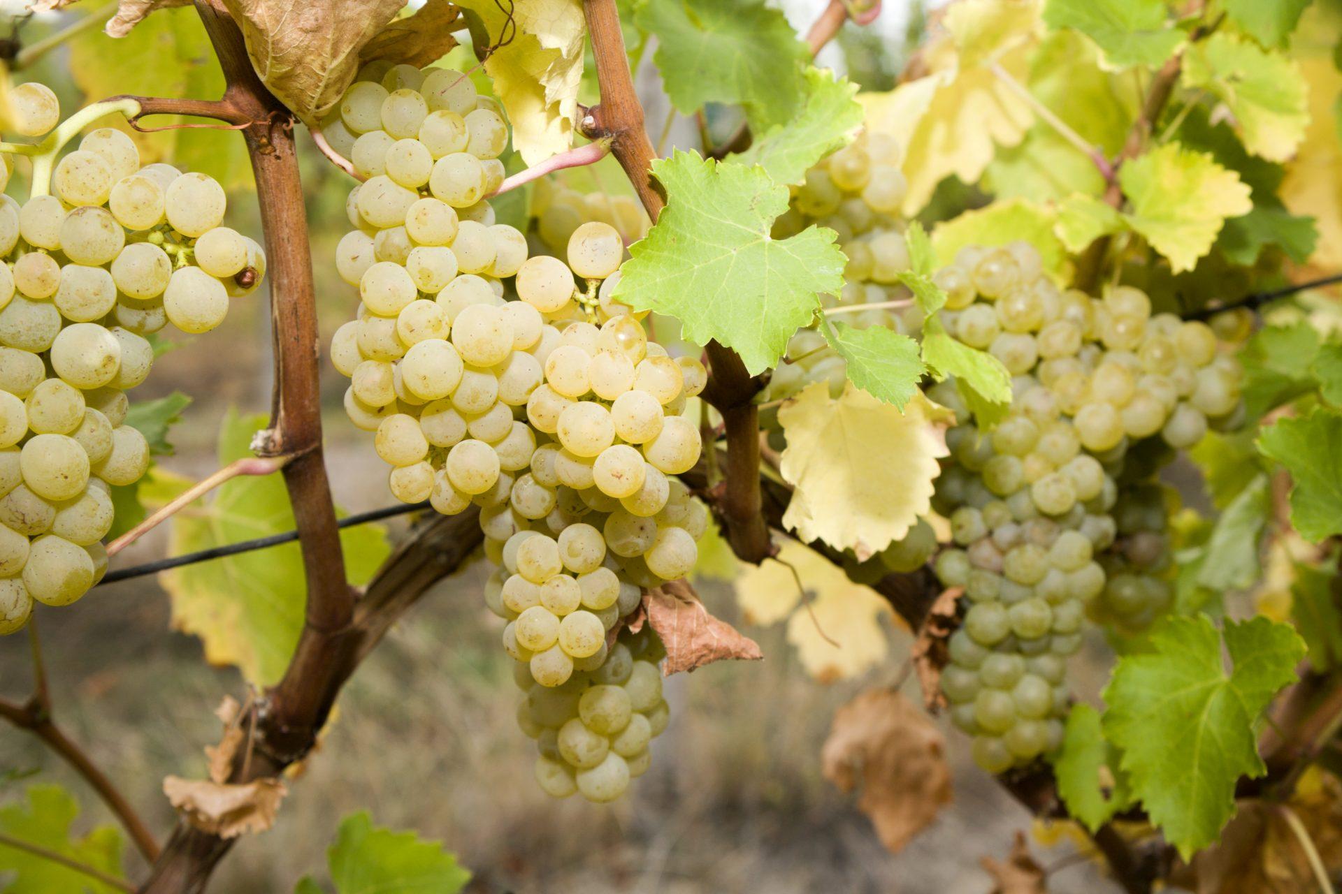 Independent champagnegrower – « vigneron indépendant »